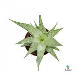 Aloe aristata 'Snow Flake'