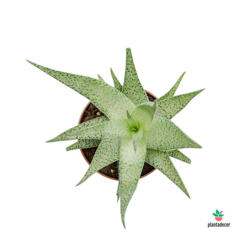 comprar Aloe nieve