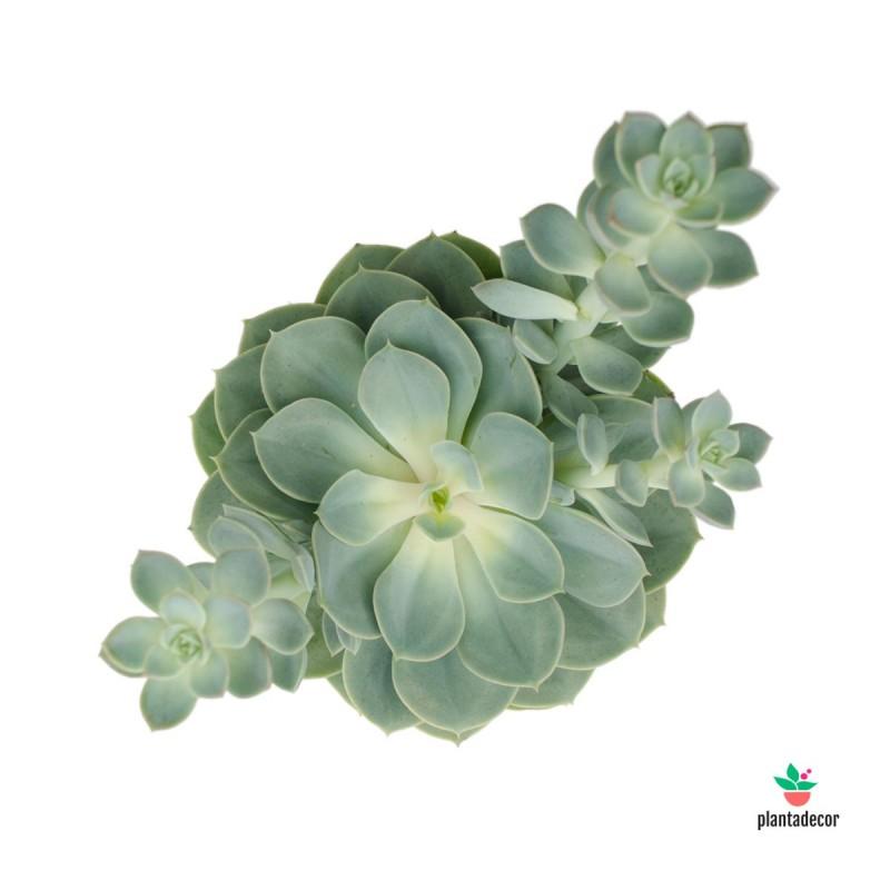 Echeveria Green Pearl