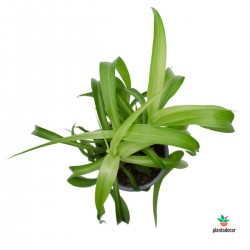 Chlorophytum Comosum 'Green...