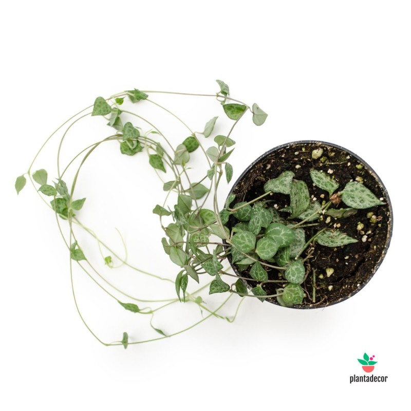 "Ceropegia woodii ssp. woodii ""Mini star"""