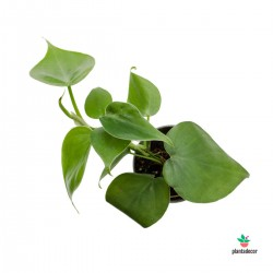 Philodendron scadens mini