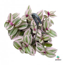Tradescantia Albiflora Nanouk colgador