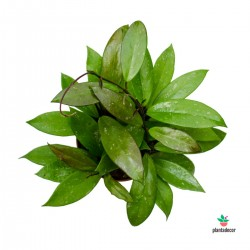 Hoya Carnosa Publicalix plantadecor