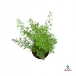 Asparagus Meyerii