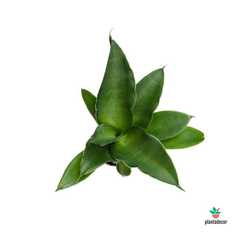 Sanseviera Cilíndrica Star Iguana Mini
