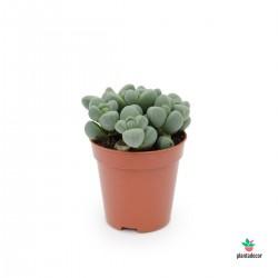 Lampranthus Miximiliani Mini