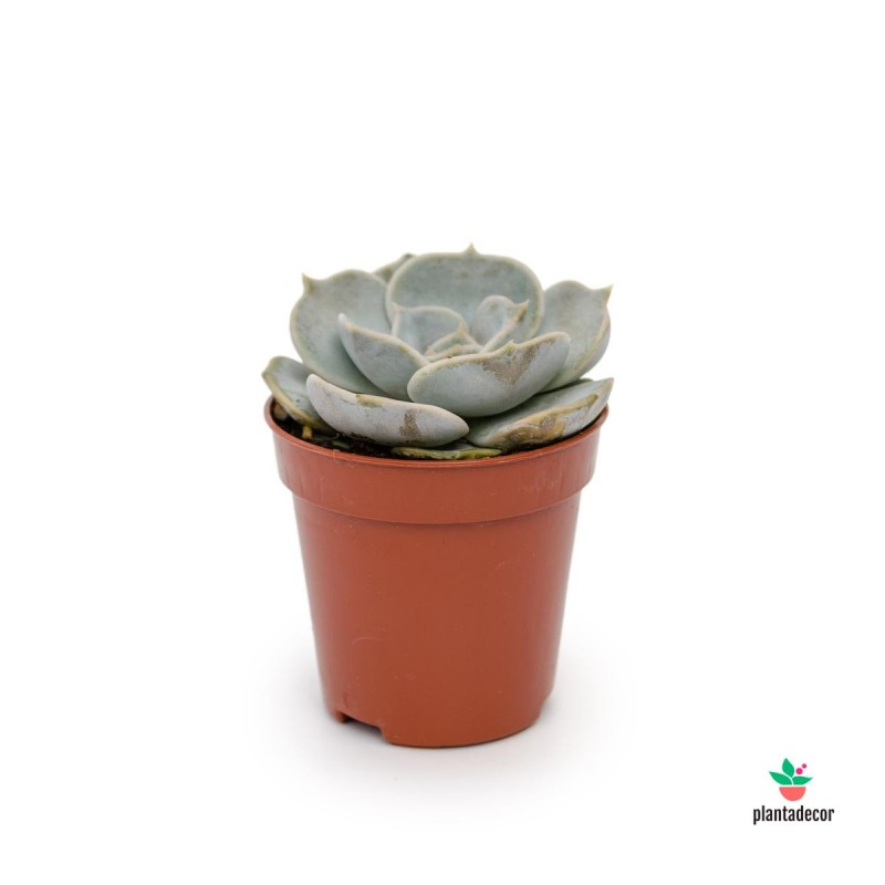 Echeveria Pollux mini