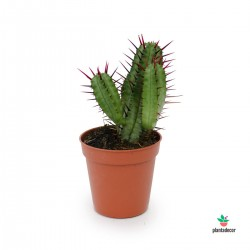 Euphorbia Enopla Mini