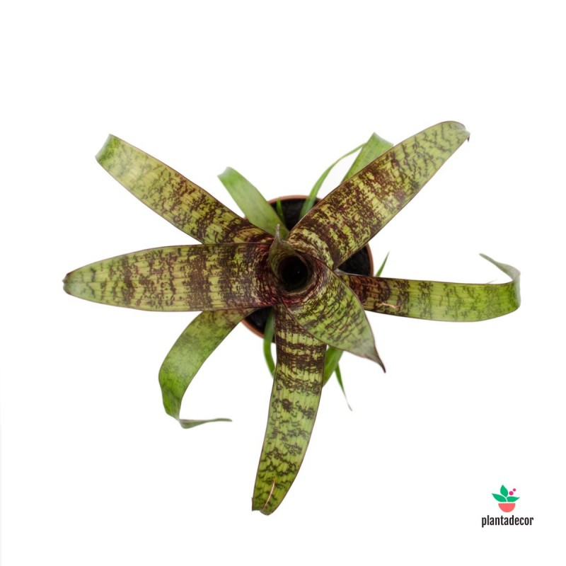 Vriesea Fosteriana