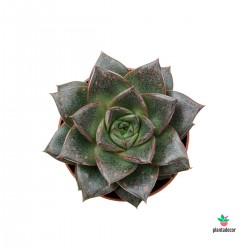 copy of Echeveria Purpusorum