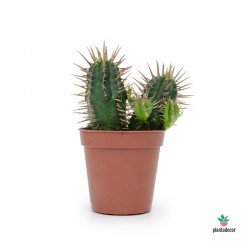 Euphorbia Ferox Mini comprar