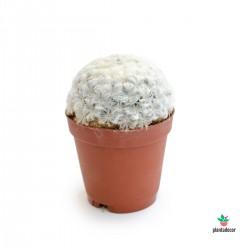 Mammillaria Plumosa Mini comprar
