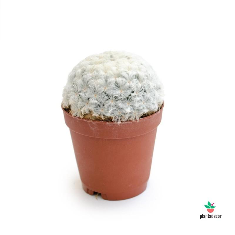 Mammillaria Plumosa Mini