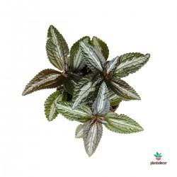 """Pilea Spruceana """"Silver Tree"""""""