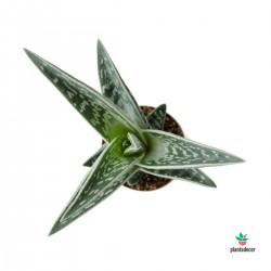 Aloe Variegata (Aloe Tigre)
