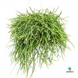 Rhipsalis Bacciferia Shaferi cactus