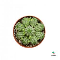 Euphorbia 2 x