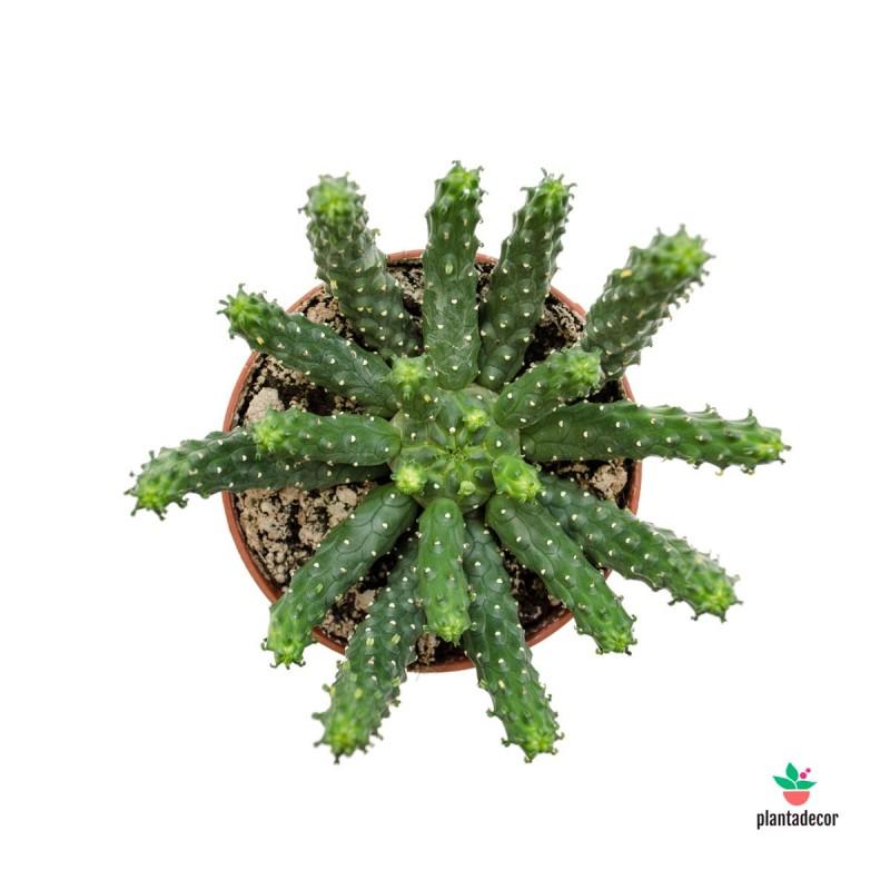 Euphorbia Flanaganii Medusa