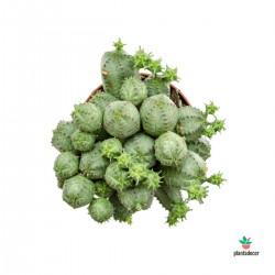 Euphorbia Globosa M-8,5
