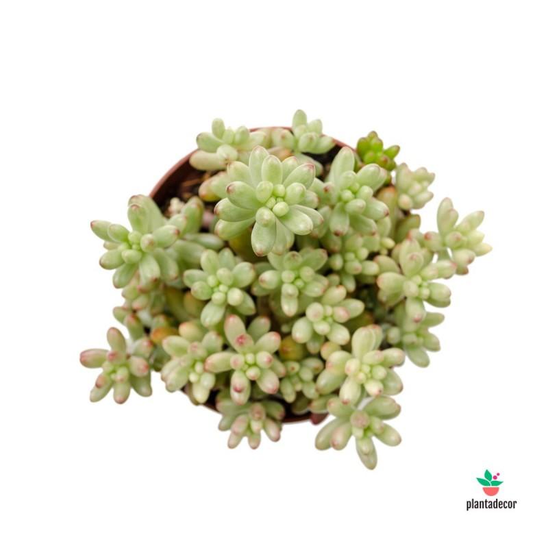 Sedum Rubrotinctum Aurora M-10,5 cm