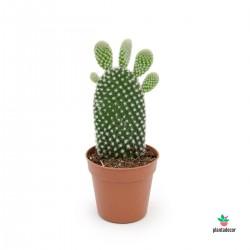 comprar Opuntia Microdasys Albispina Mini