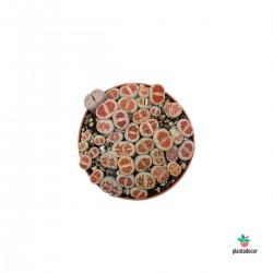 Lithops Karashmontana Bicolor