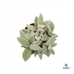 Kalanchoe Eriophylla