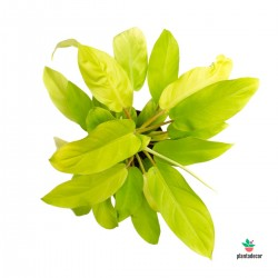 comprar Philodendron Malay Gold