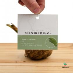 Bulbo de Colocasia Esculenta