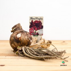 Bulbo de Hippeastrum / Amaryllis Rojo Oscuro