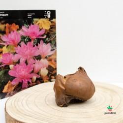Bulbo de Colchicum Waterlily