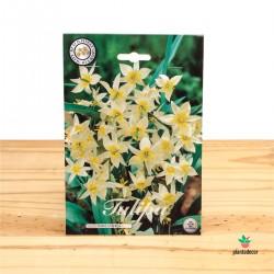 Bulbos de Tulipán Botanical...
