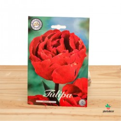 Bulbos de Tulipa Double Late Miranda