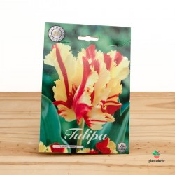 Bulbos de Tulipán Flaming Parrot