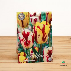 Bulbos de Tulipán Triumph Vermeer