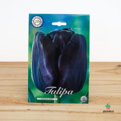 Bulbos de Tulipán Single...