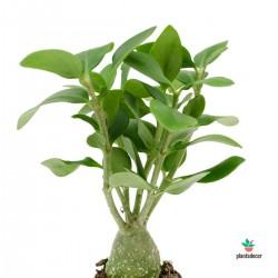 Hydnophytum Papuanum M-7