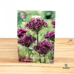 Bulbos de Allium Atropurpureum
