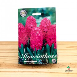 Bulbos de Hiacinthus Orientalis Jan Bos