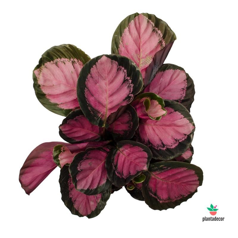 Calathea Roseapicta Crimson comprar