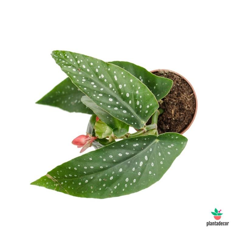 Begonia Albopicta Rosea