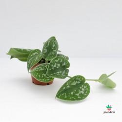 Scindapsus Pictus Argyraeus mini