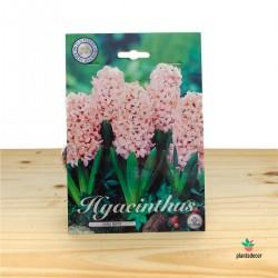 Bulbo de Hyacinthus...