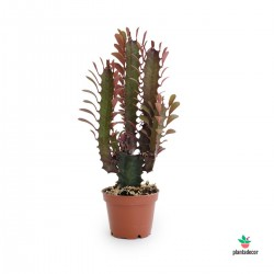 Euphorbia Trigona Rubra o Royal Red