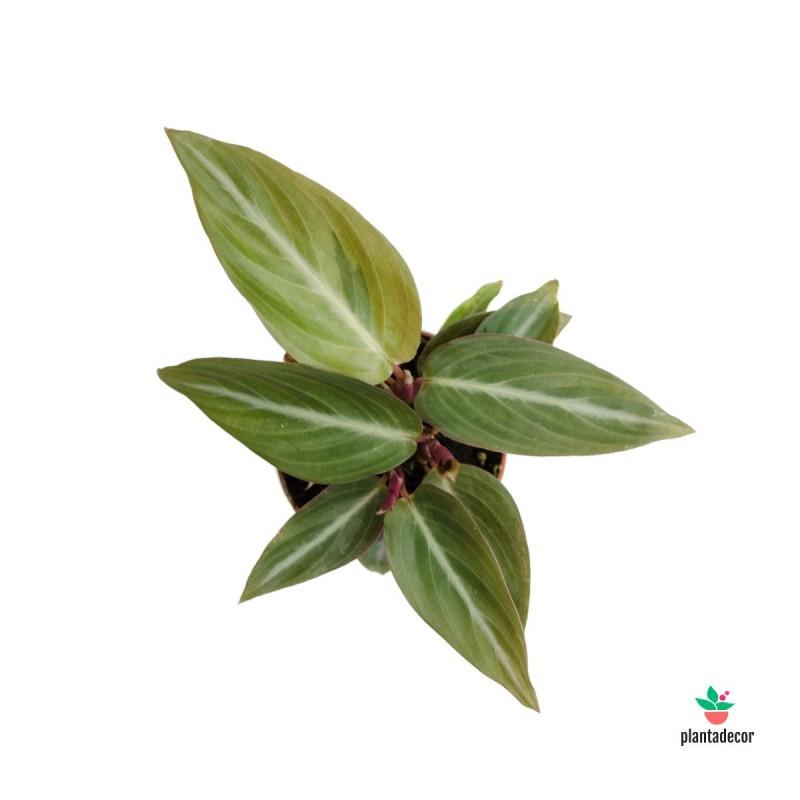 Stromanthe Sanguinea 'Mini'