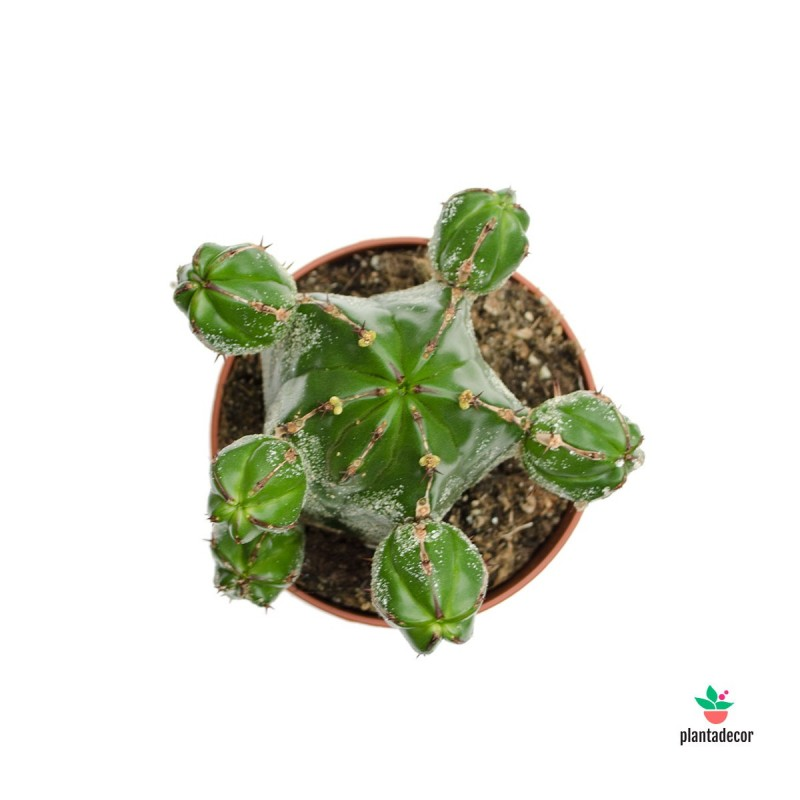 Euphorbia Ichnus online