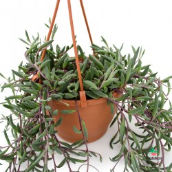 "Senecio Herreianus ""Purple Flush"""