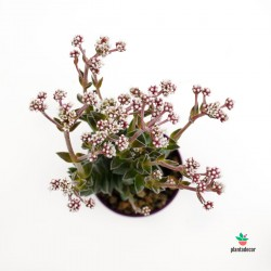 Crassula Frosty