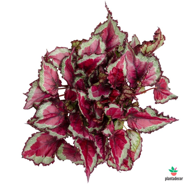 "Begonia Rex Magic Colours ""Spitfire"""